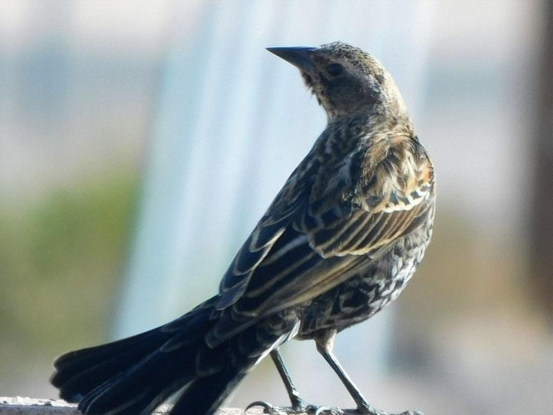 Velencei hegység ritka madár
